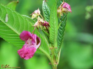Reuzenbalsemien – Impatiens glandulifera