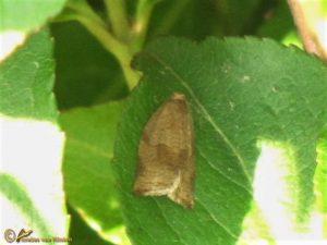Reuzenbladroller - Choristoneura hebenstreitella