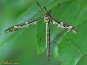 Reuzenlangpootmug - Tipula maxima ♀️