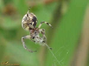 Rietkruisspin - Larinioides cornutus