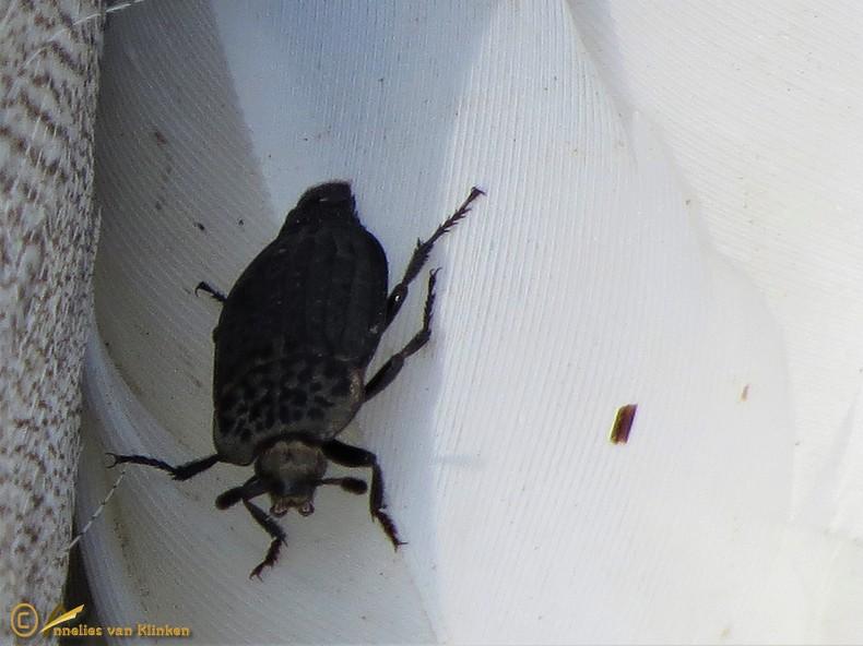 Rimpelige aaskever - Thanatophilus rugosus