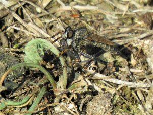 Ringpootroofvlieg - Tolmerus cingulatus ♀️