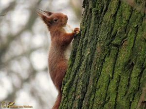 Rode Eekhoorn – Sciurus vulgaris