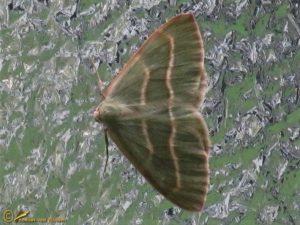 Rode dennenspanner - Hylaea fasciaria