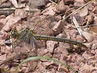 Rombouten (Gomphidae)