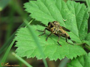 Roodbaardroofvlieg - Eutolmus rufibarbis ♀️