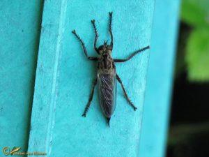 Roodbaardroofvlieg - Eutolmus rufibarbis