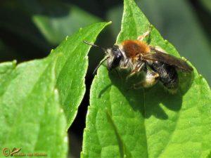 Roodgatje – Andrena haemorrhoa ♀️