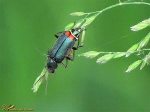 Roodtipbasterdweekschild - Malachius bipustulatus
