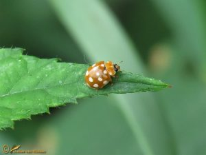Roomvleklieveheersbeestje - Calvia quatuordecimguttata