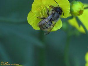 Rosse metselbij - Osmia bicornis ♀️