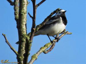 Rouwkwikstaart - Motacilla alba yarrellii ♂️