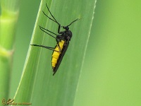 Rouwmuggen (Sciaridae)