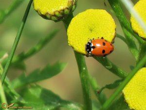 Ruigtelieveheersbeestje - Hippodamia variegata