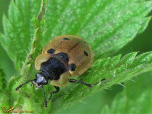 Rupsenaaskever - Dendroxena quadrimaculata
