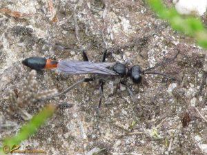 Rupsendoder onbekend - Ammophila spec.