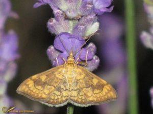 Salielichtmot - Anania verbascalis