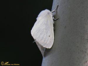 Satijnvlinder - Leucoma salicis