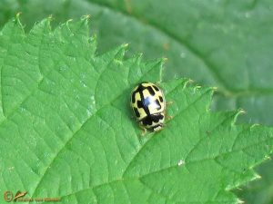 Schaakbordlieveheersbeestje – Propylea quatuordecimpunctata