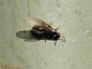 Schaduwmier - Lasius umbratus