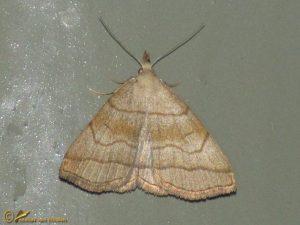Schaduwsnuituil - Herminia tarsicrinalis