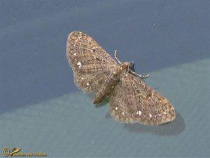 Schermbloemdwergspanner - Eupithecia tripunctaria