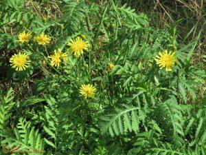 Schermhavikskruid - Hieracium umbellatum