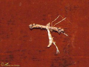 Scherphoekvedermot - Amblyptilia acanthadactyla