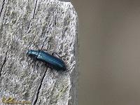 Schijnboktorren (Oedemeridae)