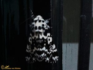Schijnnonvlinder-Panthea-coenobita