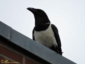 Schildraaf - Corvus albus