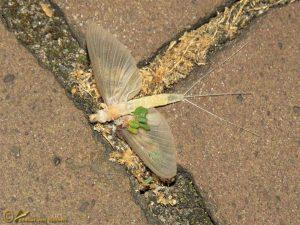 Schoraas of zomersneeuw – Ephoron virgo ♂️