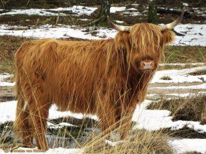Schotse – Hooglander Bos taurus ss ♀️