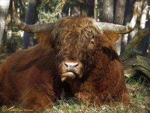 Schotse – Hooglander Bos taurus ss ♂️