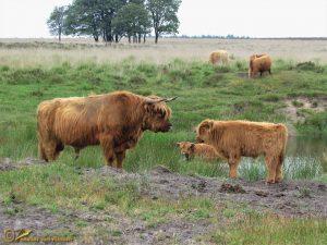 Schotse – Hooglander Bos taurus ss