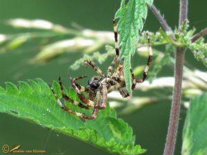 Schouderkruisspin - Araneus angulatus