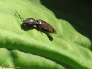 Sericus brunneus