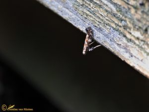 Seringensteltmot - Gracillaria syringella