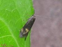 Sikkelmotten (Oecophoridae)