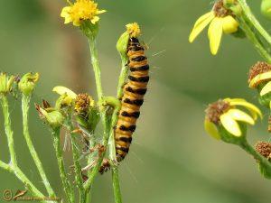 Sint-jacobsvlinder - Tyria jacobaeae
