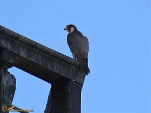Slechtvalk – Falco peregrinus