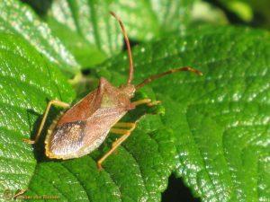 Smalle randwants - Gonocerus acuteangulatus