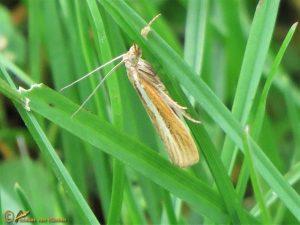 Smalle witlijngrasmot - Agriphila selasella