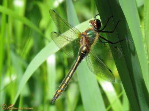 Smaragdlibel – Cordulia aenea ♀️