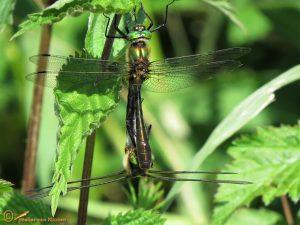 Smaragdlibel – Cordulia aenea ♂️ ♀️