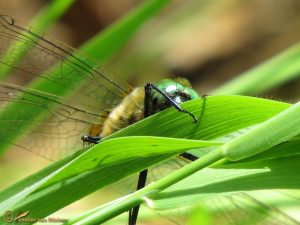 Smaragdlibel – Cordulia aenea ♂️