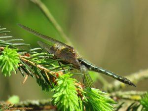 Smaragdlibel – Cordulia aenea