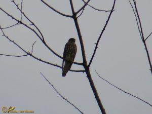Smelleken - Falco columbarius