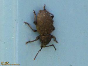 Snuitkever onbekend - Curculionidae indet.