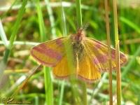 Spanners (Geometridae)